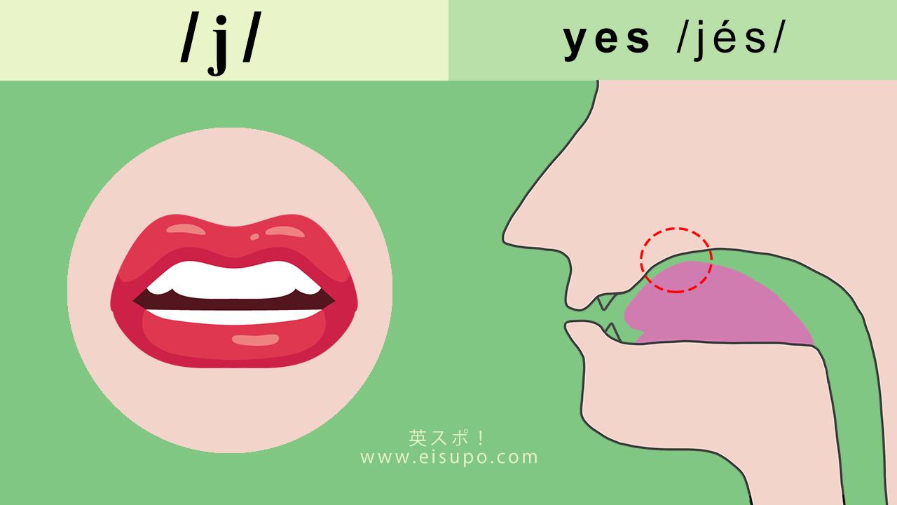 英語の発音方法:/j/ の正しい発音の仕方